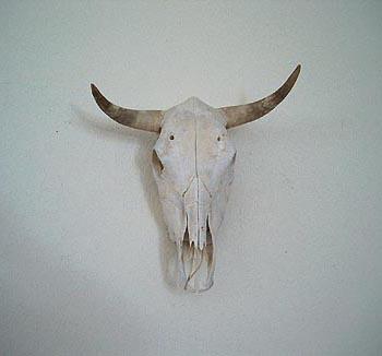 Genuine Cattle Skull with Horns